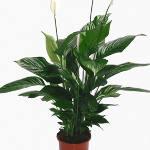 Indoor Houseplant Peace Lilies